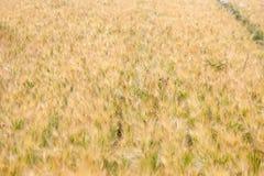 Weeds in the fields of grain harvest worsening Stock Image