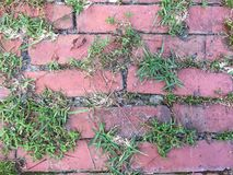 Weeds growing between bricks. Old brick walkway with weeds growing between the bricks. Some bricks are chipped, some bricks are crooked stock photos
