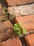 Weeds and bricks. Weeds growing in sandy cracks between bricks on a terrace Stock Photo