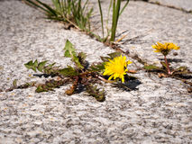 Weeds an hard surface - patio or courtyard. Photo shows some weeds growing on a courtyard dandelion and grass Royalty Free Stock Image