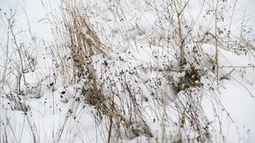 Weeds its way through the snow stock video