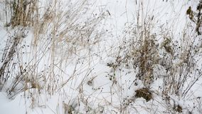 Weeds its way through the snow stock video footage