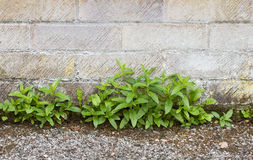 Weeds in path. Weeds growing between wall and path stock images