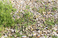 Weeds pests parasites in gravels. Weeds parasites pests, dandelion, grass in gravel before herbicide, weedkiller, weed whacker Stock Photography