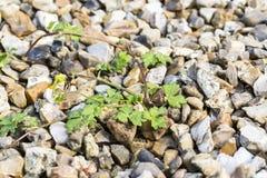 Weeds pests parasites in gravels. Weeds parasites pests, dandelion, grass in gravel before herbicide, weedkiller, weed whacker Stock Photos