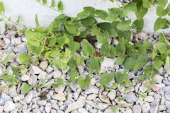 Weeds pests parasites in gravels. Weeds parasites pests, dandelion, grass in gravel before herbicide, weedkiller, weed whacker Stock Image