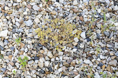 Weeds pests parasites in gravels. Weeds parasites pests, dandelion, grass in gravel before herbicide, weedkiller, weed whacker Royalty Free Stock Photography