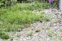 Weeds pests parasites in gravels. Weeds parasites pests, dandelion, grass in gravel before herbicide, weedkiller, weed whacker Stock Images