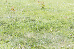 Weeds pests parasites in lawn grass. Weeds parasites pests, dandelion, in lawn grass before herbicide, weedkiller, weed whacker Royalty Free Stock Images