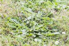 Weeds pests parasites in lawn grass. Weeds parasites pests, dandelion, in lawn grass before herbicide, weedkiller, weed whacker Royalty Free Stock Photo