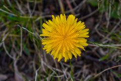 A dandelion, its the season royalty free stock photography