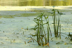 Weeds and reeds pond, lake or river stock photo