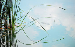 Weeds reflections in pond. Water-weeds and their reflections in a pond stock images