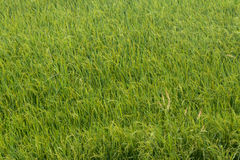 Weeds and rice fields. Stock Photo