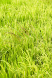 Weeds between rice plant Royalty Free Stock Photo
