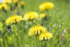 Weeds shall inherit the earth Close up. Landscape format image of weeds on a lawn.  Dandelions among the grass Stock Images