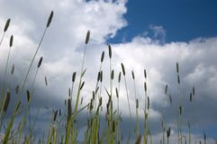Weeds Silhouetted Against Blue Sky. Grass against cloudy blue sky Stock Photo
