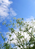 Weeds and sky. Weeds against the blue cloudy sky royalty free stock photo