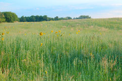 Weeds and Sunflowers Royalty Free Stock Photography