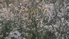 Weeds at sunset in the breeze stock video footage
