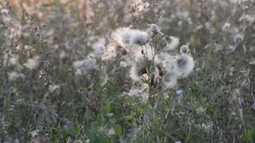 Weeds at sunset in the breeze stock footage