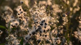 Weeds at sunset in the breeze stock video