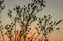 Weeds at sunset Stock Images