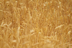 Weeds on wheat field Royalty Free Stock Images
