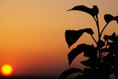 Weedy Plant Against the Sunset. Weedy Plant Against the  Sunset Stock Photography