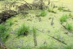 A pond with duckweed brunches and logs in the forest stock photo