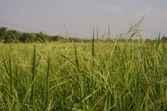 Weedy Reis Stockfotos