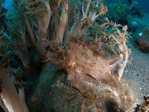 Weedy scorpionfish royalty-vrije stock afbeelding