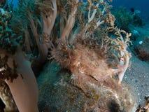 Weedy scorpionfish stock foto's