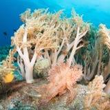 Weedy scorpionfish royalty-vrije stock foto