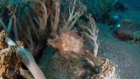 Weedy scorpionfish royalty-vrije stock foto's
