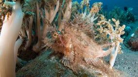 Weedy scorpionfish stock foto