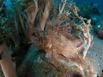 Weedy scorpionfish stock afbeeldingen