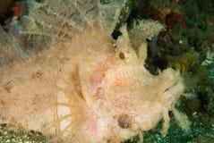 Weedy scorpionfish in Ambon, Maluku, Indonesia underwater photo Royalty Free Stock Images