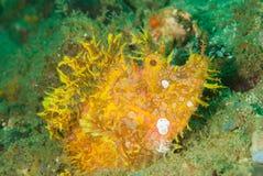 Weedy scorpionfish in Ambon, Maluku, Indonesia underwater photo Royalty Free Stock Photography