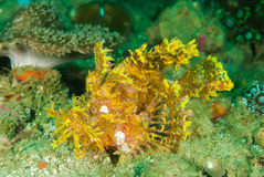 Weedy scorpionfish in Ambon, Maluku, Indonesia underwater photo Stock Photography