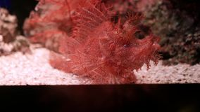 Weedy Scorpionfish in aquarium, The Weedy Scorpionfish Rhinopias frondosa is an extremely unusual looking fish