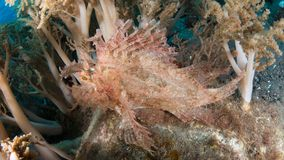 Weedy scorpionfish. Close-up wide-angle of a mauve weedy or popeyed scorpionfish, Rhinopias frondosa, hiding in soft-coral. Alor Archipelago, Lesser Sunda Stock Image