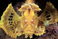 Weedy Scorpionfish from Front stock photography