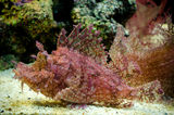 Weedy Scorpionfish (Rhinopias frondosa) Royalty Free Stock Photo