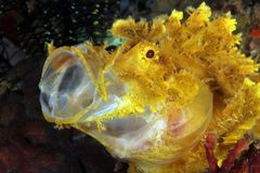 Weedy Scorpionfish. Yellow Weedy Scorpionfish Rhinopias frondosa with open Mouth. Anilao, Philippines Stock Image