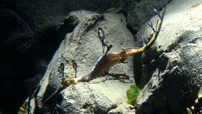Weedy Sea Dragon (Seahorse) on the Reef stock footage