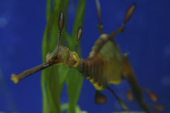 Weedy Sea Dragons, Australia Royalty Free Stock Images