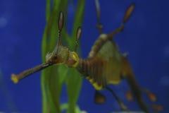 Weedy Sea Dragons, Australia Royalty Free Stock Images