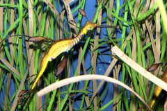 Weedy Seadragon (Phyllopteryx taeniolatus) Royalty Free Stock Photography