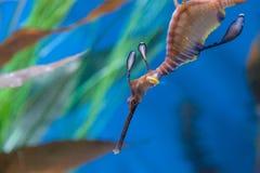 Weedy seadragon, Phyllopteryx taeniolatus Royalty Free Stock Image